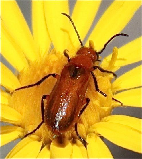 Red-Orange Beetle - Nemognatha nigripennis