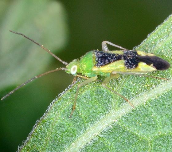 Reuteroscopus ornatus - Ornate Plant Bug - Reuteroscopus ornatus