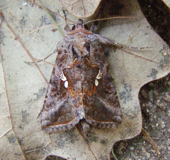 Noctuidae, Common Looper - Autographa precationis