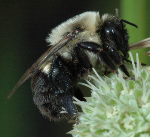 Bumble bee? - Bombus impatiens - female