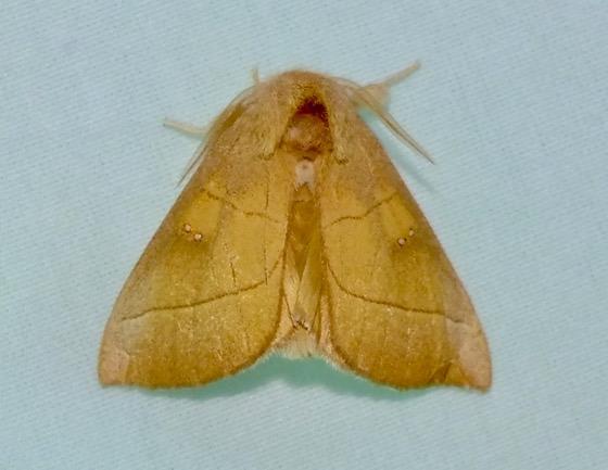White-dotted Prominent - Nadata gibbosa