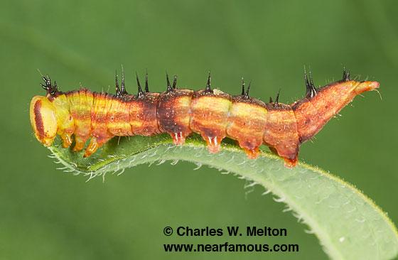 Theroa zethus larva Day 11 - Theroa zethus