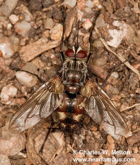 Tachinid Fly - Mochlosoma