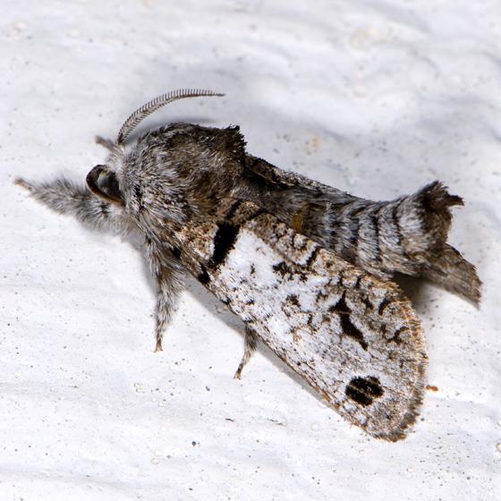 Moth ID request - Inguromorpha n-sp - male