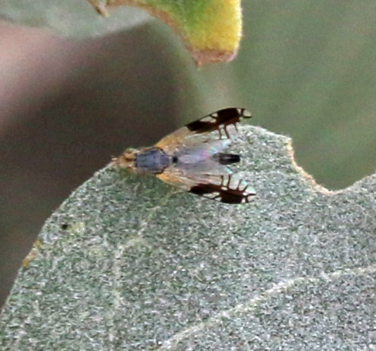 Some type of picture wing fly? - Trupanea bisetosa - female