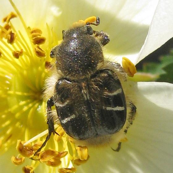 Rose Beetle - Trichiotinus assimilis
