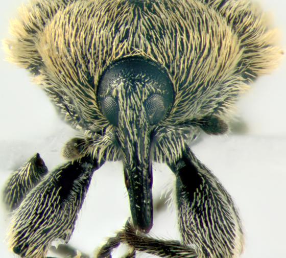 Curculionidae, frontal - Rhinusa tetra