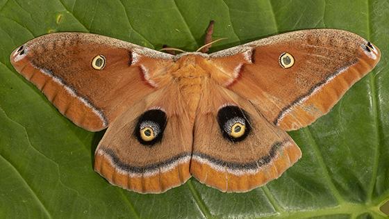 Large - Antheraea polyphemus