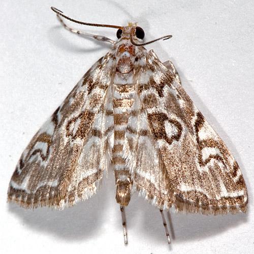 Elophila gyralis - Waterlily Borer Moth - Elophila gyralis