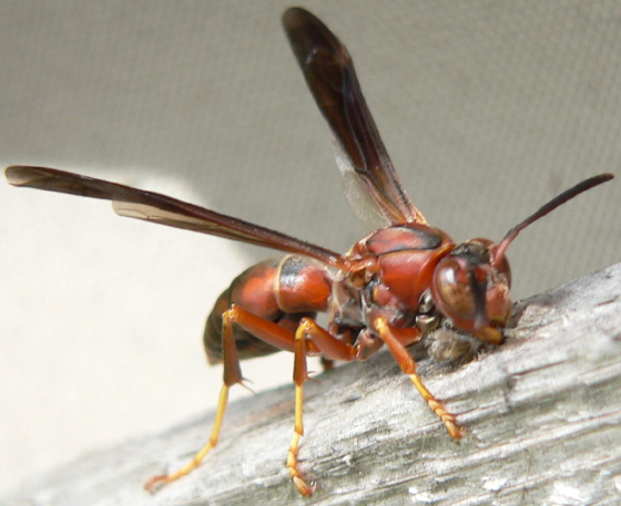Northern Paper Wasp - Polistes fuscatus - female