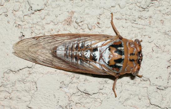 Tibicen dealbatus - Megatibicen dealbatus - female