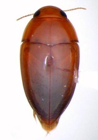 Hydrocanthus iricolor - male