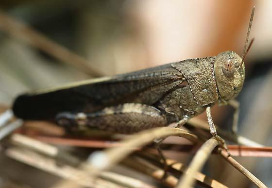 Southern yellowwinged grasshopper