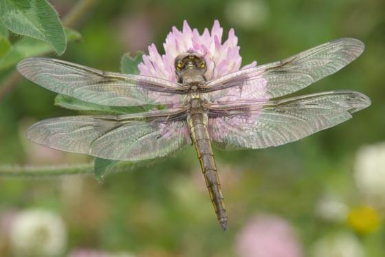 dragonfly--skimmer? - Libellula pulchella