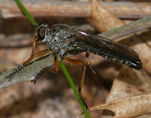 Robber Fly - Neomochtherus pallipes - male