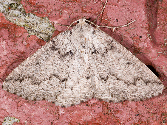 Packard's Girdle Moth - Enypia packardata