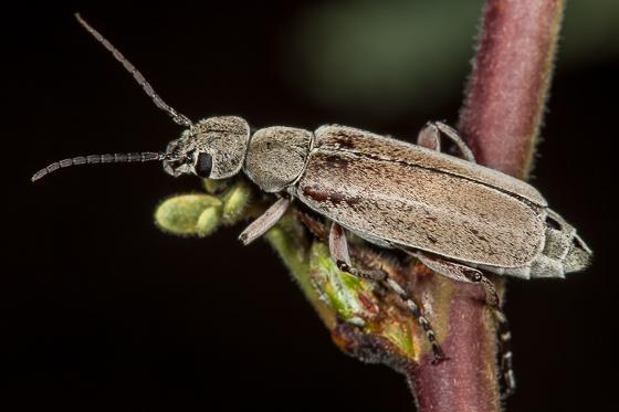 Blister Beetle - Epicauta cupraeola