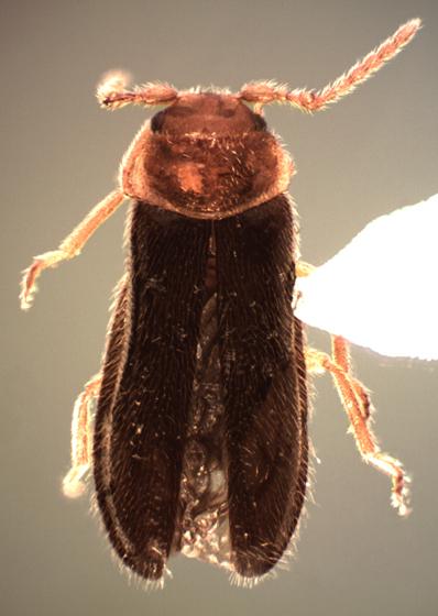 Blatchleya gracilis (Blatchley) - Blatchleya gracilis - male
