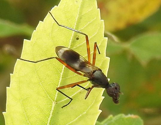fly - Taeniaptera trivittata