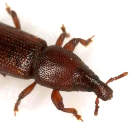 undet. onycholipine genus