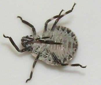 Stinkbug Nymph - Brochymena
