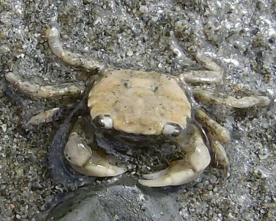 Shore crab - Hemigrapsus oregonensis
