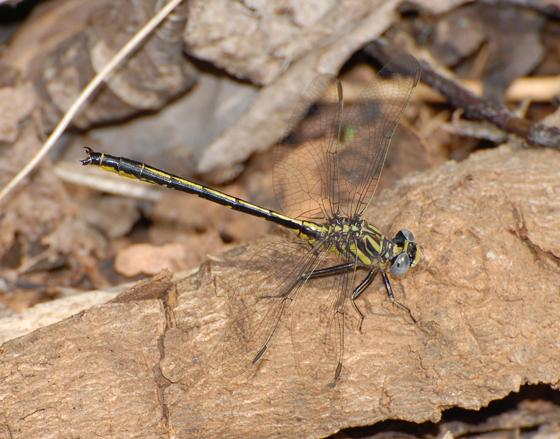 Gomphus hodgesi - Hodges' Clubtail - Phanogomphus hodgesi - male