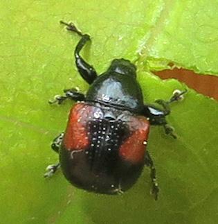 Synolabus bipustulatus