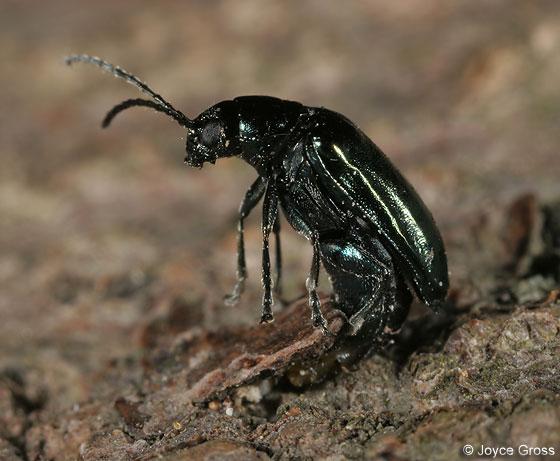 leaf beetle - Altica - female