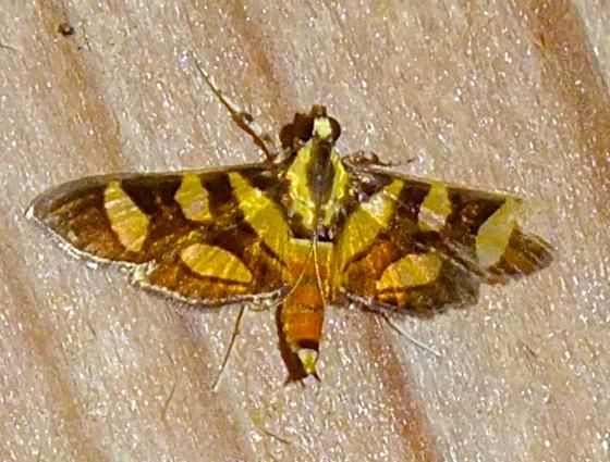 Red-waisted Florella Moth - Syngamia florella