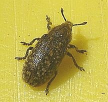 Fungus Beetle??? - Rhinocyllus conicus