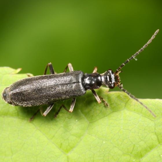 Black cantharid - Dichelotarsus laevicollis