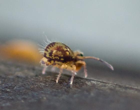 Globular Springtail - Dicyrtomina cf. saundersi? - Dicyrtomina minuta