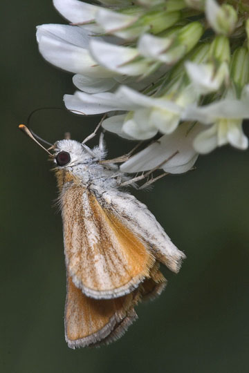 Southern Skipperling - Copaeodes minima