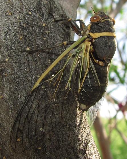 Citrus Cicada - Diceroprocta apache