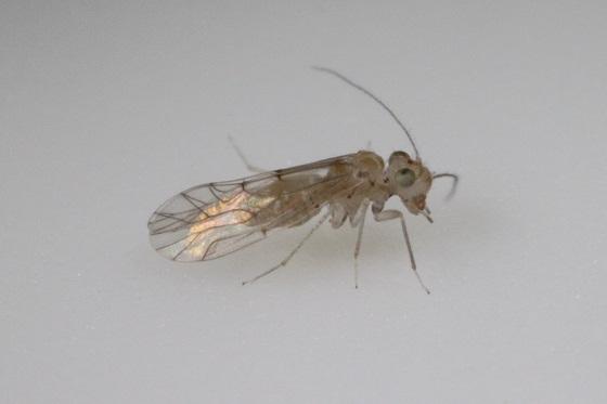 Lachesilla kathrynae Mockford & Gurney - Lachesilla kathrynae - male