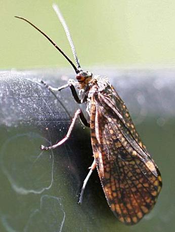 Caddisfly (Trichoptera) - Oligostomis