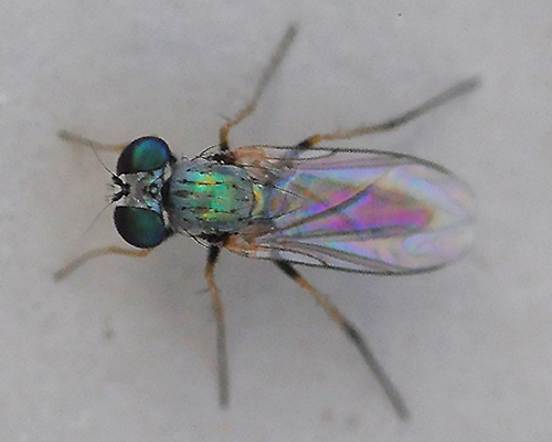 Gnat-sized Diptera - Asyndetus