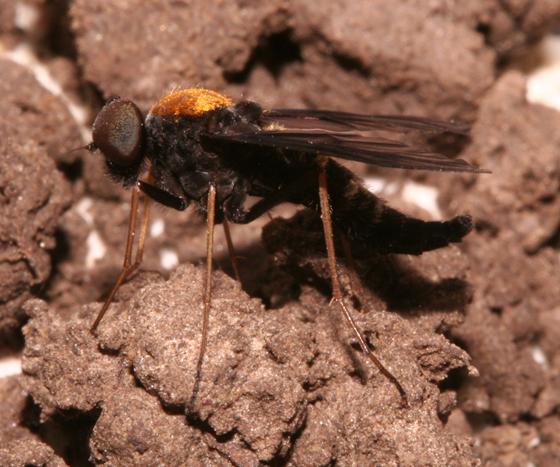 Rhagionidae - lateral - Chrysopilus thoracicus - male