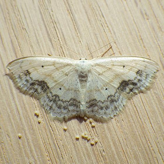 Large Lace-borer (Scopula limboundata)  - Scopula limboundata - female