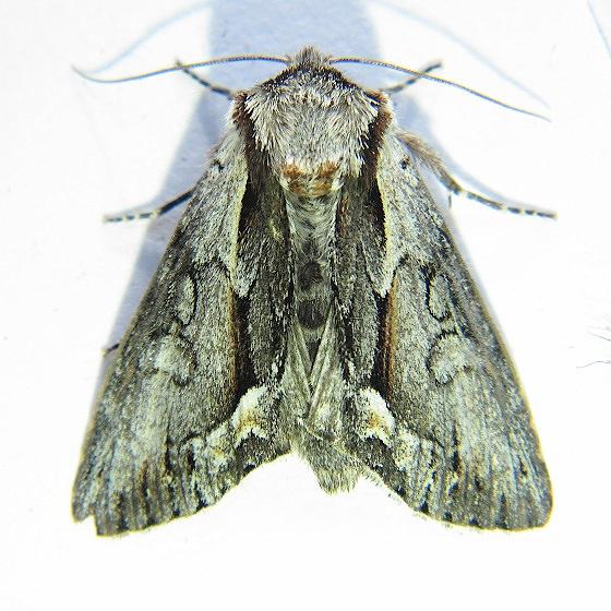 Hyppa brunneicrista - Hodges #9580 - Hyppa brunneicrista