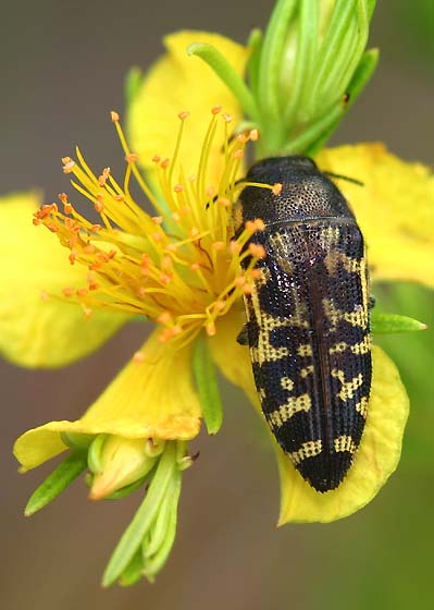 Hairy Yellow-Marked Buprestid - Acmaeodera pulchella