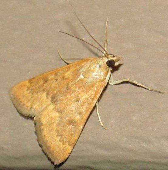 Garden Webworm Moth - Hodges#4975 - Achyra rantalis