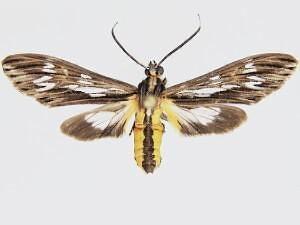 Psilopleura polia - Hodges #8276.1 - Psilopleura polia - male