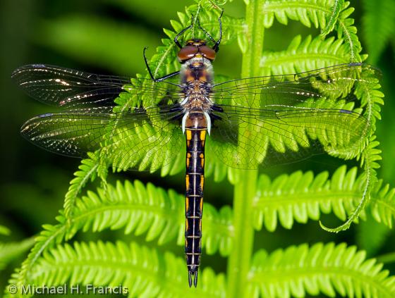 Spiny Baskettail - Epitheca spinigera - female