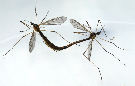 Crane Flies - Liogma nodicornis - male - female