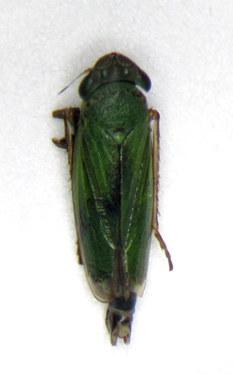 Hopper 1 - Helochara communis - male