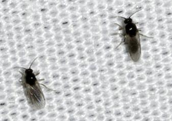 Diptera - Atrichopogon