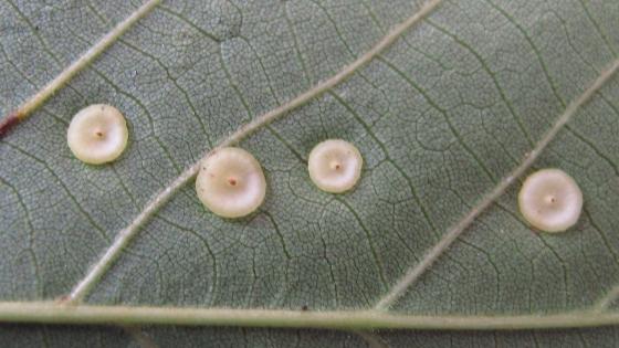 galls on Hickory  - Caryomyia