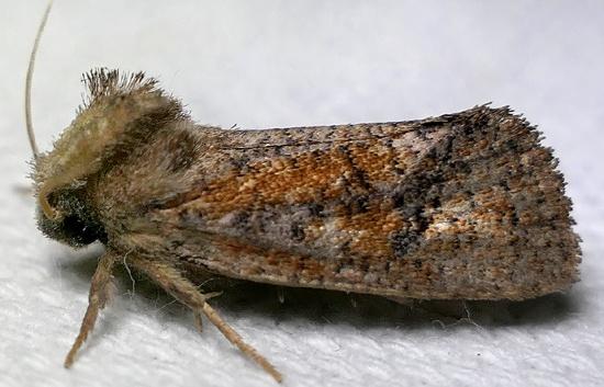 tubeworm moth - Acrolophus plumifrontella